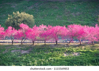 Blossoming plum trees in Japan