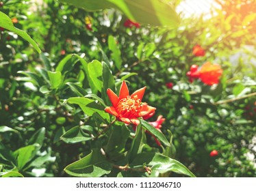 Blossoming pomegranate tree - flower close-up view