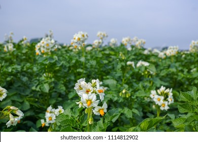 Blossoming of potato fields, potatoes plants with white flowers growing on farmers fiels