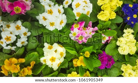 Blossoming Primula Vulgaris Flowers Beautiful Nature Stock Photo