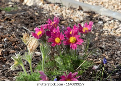 blossoming purple pasque