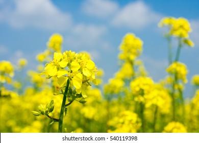 Blossoming rape field