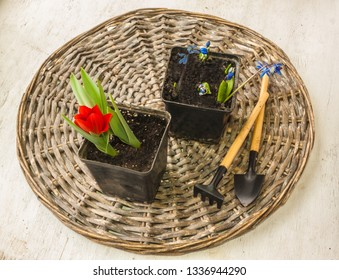 Blossoming red botanical tulips and Scilla sibirica  in pots. Flat lay.