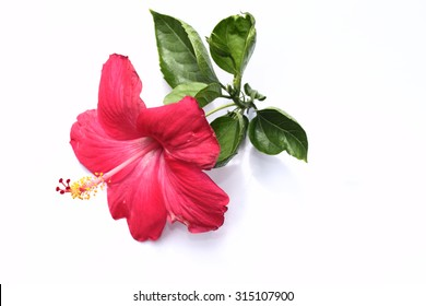 Blossoming red flower with three petals on pestle, stamens and l