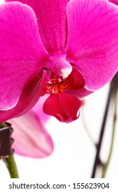 blossoming red orchid branch on white background