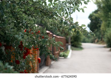 Blossoming red roses near a brick fence