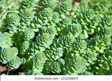 The blossoming rhodiola pink (Rhodiola rosea L.), a background from escapes