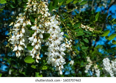 Blossoming robinia in the sunshine, spring, white blossoms, robinia blossoms in the sunshine, Robinia pseudoacacia