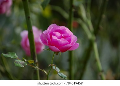 A blossoming rose in front of a green, natural background