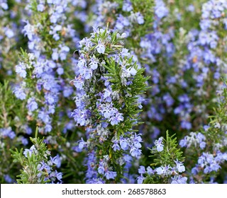 Rosemary Plant With Flowers Images, Stock Photos & Vectors