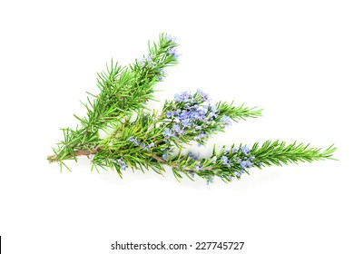 Blossoming rosemary branch isolated on white background