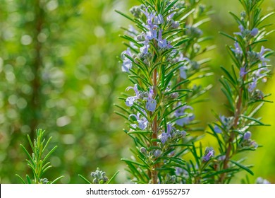 Blossoming rosemary plants on the blue green bokeh herb garden background. Rosmarinus officinalis angustissimus Benenden Blue