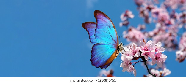 blossoming sakura. branch of blossoming sakura and bright blue morpho butterfly against blue sky. copy space