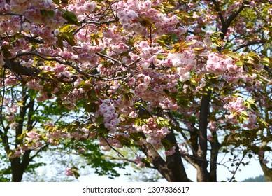 Blossoming sakura tree in the park