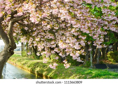 Blossoming sakura tree in the park along the river