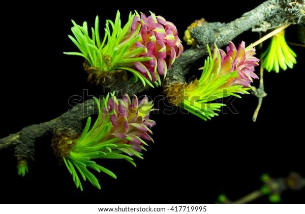 Blossoming Siberian Fir Abies Sibirica Macro Stock Photo Edit Now