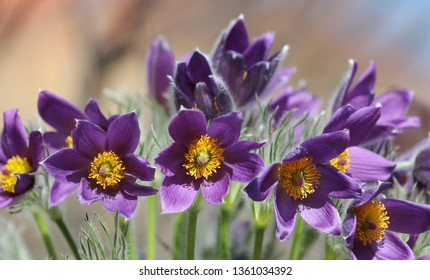 blossoming small pasque flower from detail, pulsatilla
