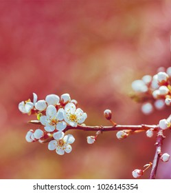 blossoming spring branch of a fruit tree with white flowers. shallow depth of field, selective focus. tinted photo