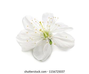 Blossoming spring flower on white background