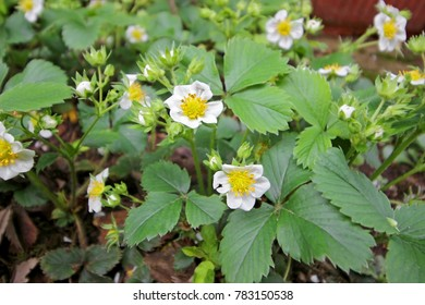Blossoming  strawberries in the garden