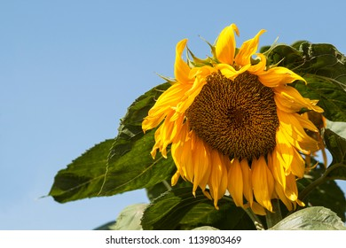 Blossoming sunflower with large green leaves