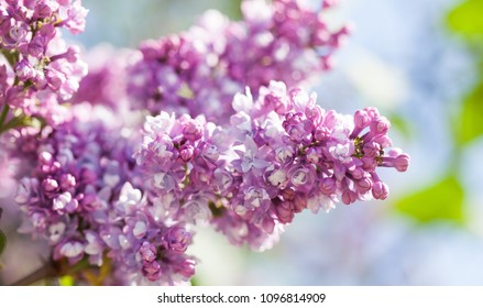 Blossoming Syringa lilac bush. Springtime landscape with bunch of violet flowers. lilacs blooming plants background. soft focus photo.