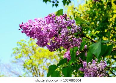 Blossoming Syringa (lilac) vulgaris. Syringa vulgaris lilac branch. Violet flowers, spring time