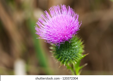 Blossoming thistle with pink flowers on brown background.