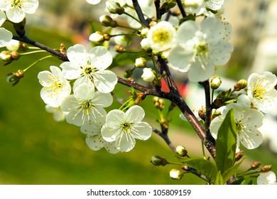 blossoming tree of an apple-tree. spring season