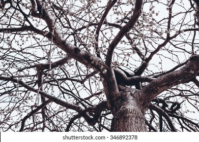 Blossoming tree in early spring. View from below. Cloudy sky. Toned photo.