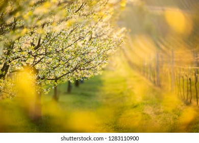 Blossoming tree in the landscape full of sunlight. Positive spring scene in a sunny morning.