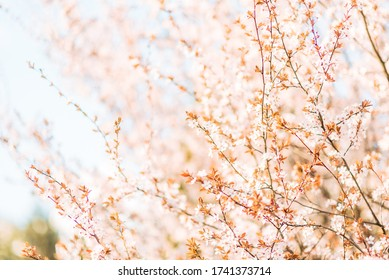 Blossoming tree with pink flowers in the rays of the evening sun. Soft focus. Gardens bloom in spring