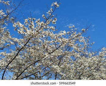 Blossoming trees of deciduous magnolia against blue sky