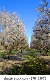 Blossoming trees signify the beginning of spring in this California almond orchard