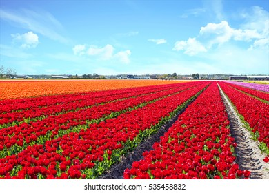 Blossoming tulip fields in a dutch landscape in the Netherlands