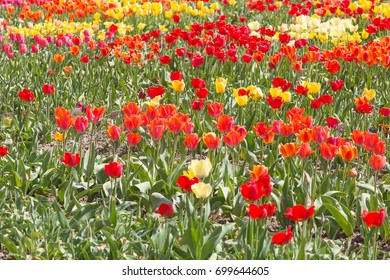 Blossoming of tulips in the park in the open air in the spring.