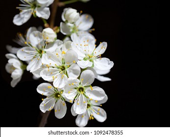 Blossoming twig of cherry