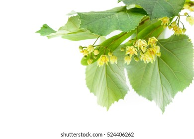 Blossoming twig of limetree or linden tree
