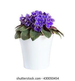 Blossoming violets in flower pot isolated on white background