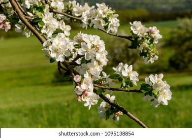 blossoming white apple flowers on tree , shot in bright spring light near Rottweil, Baden Wuttenberg, Germany