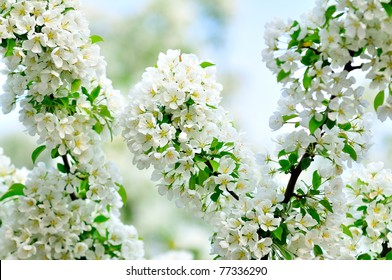 Blossoming white branch with green leaves on a tree