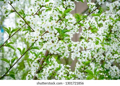 Blossoming white flowers of a cherry tree on a spring morning. Colorful background of spring cherry tree branch.