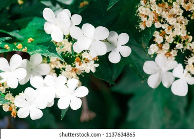blossoming white flowers of the viburnum in spring on a green tree