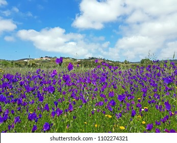 Blossoming wild lavender in the countryside from Portugal