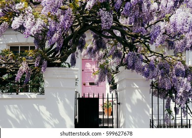 Blossoming wisteria tree covering up a house on a bright sunny day in Notting Hill, London, UK.