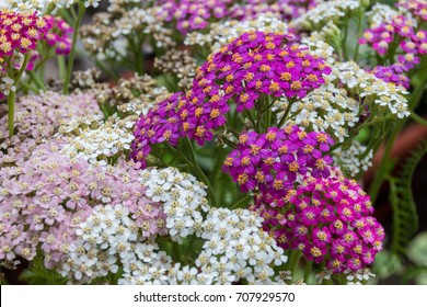 Blossoming yarrow flowers. Achillea millefolium, commonly known as yarrow or common yarrow, is a flowering plant in the family Asteraceae.