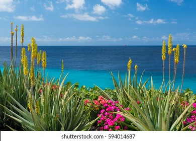 Blossoming, yellow flowers aloe-vera plant and blue sea, Curacao island, Caribbean