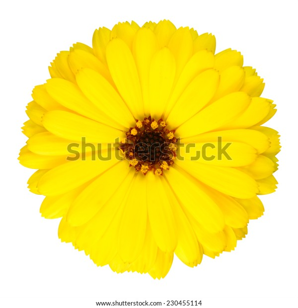 Blossoming Yellow Pot Marigold Flower - Beautiful Calendula officinalis in Full Bloom Isolated on White Background.