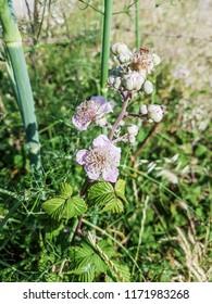 Blossoming zarzamora, elmleaf or thornless blackberry, Rubus ulmifolius, growing in Galicia, Spain