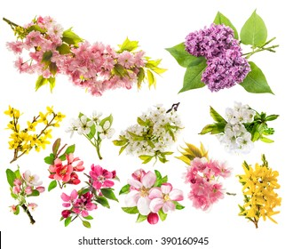 Blossoms of apple tree, cherry twig, pear, forsythia, lilac. Set of spring flowers isolated on white background